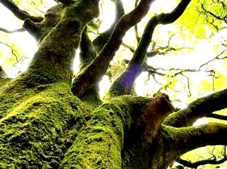 broceliande-arbre_